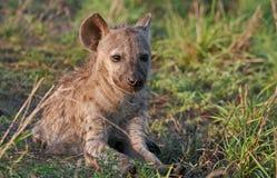 Bevlekt hyenakereltje dat in de zon zonnebaadt Stock Afbeeldingen