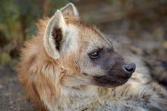 Bevlekt hyenaportret Royalty-vrije Stock Afbeeldingen