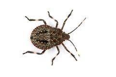 Bevlekt insect royalty-vrije stock afbeelding
