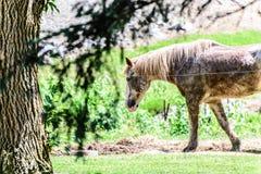 Bevlekt paard bij boerderij Stock Afbeelding