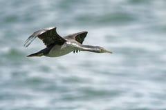 Bevlekt Pluizig laken - Stictocarbo-punctatus - parekareka - het vliegen, species van aalscholver endemisch aan Nieuw Zeeland stock foto's