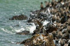 Bevlekt Pluizig laken - Stictocarbo-punctatus - parekareka - species van aalscholver endemisch aan Nieuw Zeeland Oorspronkelijk g royalty-vrije stock fotografie