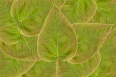 Bevlekt sicklefish hart gevormd die blad op witte achtergrond wordt geïsoleerd Stock Afbeeldingen