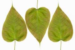 Bevlekt sicklefish hart gevormd die blad op witte achtergrond wordt geïsoleerd Stock Afbeelding