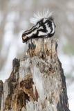 Bevlekt Stinkdier in de Sneeuw Stock Foto's