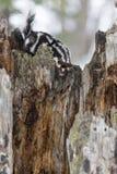 Bevlekt Stinkdier in de Sneeuw Stock Afbeelding
