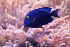 Bevlekt surgeonfish stock fotografie