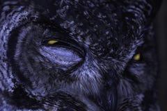 Bevlekt van Eagle-Uil Ernstig de Glansclose-up buboafricanus royalty-vrije stock fotografie