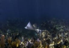 Bevlekte Adelaar Ray die boven koraalrif zwemt Stock Afbeeldingen