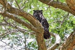 Bevlekte adelaar-Uil (africanus Bubo) stock foto
