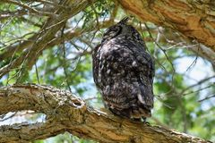 Bevlekte adelaar-Uil (africanus Bubo) royalty-vrije stock foto