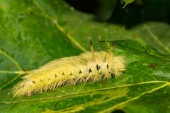 Bevlekte Apatelodes Caterpillar royalty-vrije stock foto's