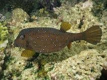 Bevlekte Boxfish in koraalrif Royalty-vrije Stock Fotografie