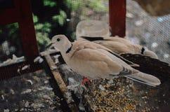 Bevlekte duif in de kooi royalty-vrije stock afbeeldingen