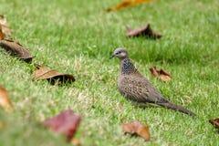 Bevlekte duif op een groen gebied Royalty-vrije Stock Foto
