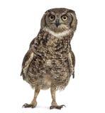 Bevlekte Eagle-uil - Bubo-africanus royalty-vrije stock afbeelding