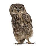 Bevlekte Eagle-uil - Bubo-africanus royalty-vrije stock foto