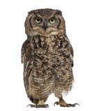 Bevlekte Eagle-uil - Bubo-africanus royalty-vrije stock fotografie