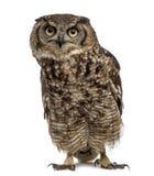 Bevlekte Eagle-uil - Bubo-africanus 4 jaar oud voor w royalty-vrije stock afbeeldingen