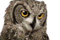 Bevlekte Eagle-Uil - Bubo-africanus 8 maanden royalty-vrije stock afbeeldingen