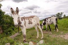 Bevlekte ezels royalty-vrije stock afbeelding