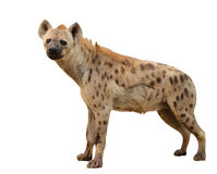 Bevlekte geïsoleerde hyena Stock Foto's