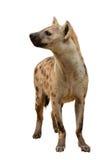 Bevlekte geïsoleerde hyena Stock Foto