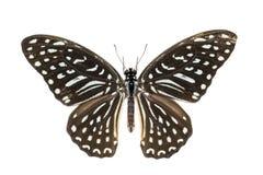 Bevlekte Gestreepte vlinder royalty-vrije stock foto