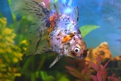Bevlekte goudvis in aquarium. Royalty-vrije Stock Afbeeldingen
