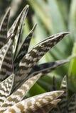 Bevlekte grote cactusbladeren. Royalty-vrije Stock Afbeeldingen