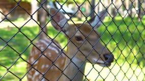 Bevlekte herten in de dierentuin stock footage
