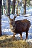 Bevlekte herten in de winter bostribunes en blikken Bevlekte herten in de reserve royalty-vrije stock afbeeldingen