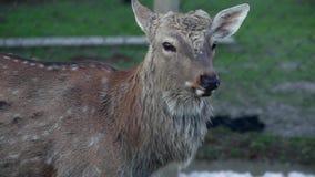 Bevlekte herten die de camera onderzoeken stock footage