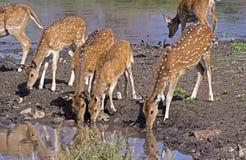 Bevlekte herten fawns bij vijver Stock Afbeelding