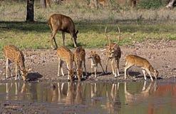 Bevlekte herten fawns bij vijver Stock Foto