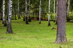 Bevlekte hertengang in het hout De zomerdag, duidelijke weer en partijen van groen gras stock foto's