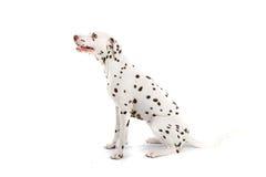 Bevlekte hond royalty-vrije stock foto