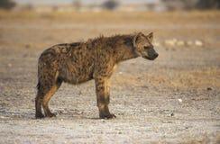 Bevlekte hyaena, Crocuta-crocuta Royalty-vrije Stock Afbeeldingen