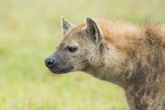 Bevlekte Hyaena (crocuta Crocuta) Tanzania Royalty-vrije Stock Afbeeldingen