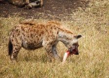 Bevlekte Hyaena in wildernis Stock Afbeeldingen