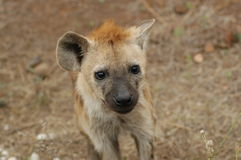 Bevlekte hyena royalty-vrije stock foto's