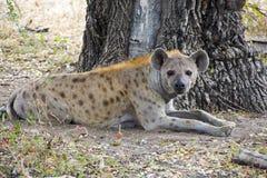 Bevlekte Hyena stock afbeeldingen