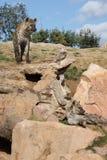 Bevlekte Hyena Royalty-vrije Stock Afbeelding