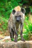 Bevlekte hyena Royalty-vrije Stock Afbeeldingen