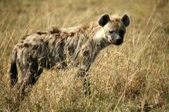 Bevlekte Hyena royalty-vrije stock foto