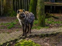 Bevlekte hyena in close-up, vleesetend zoogdier van de woestijnen van Afrika stock foto