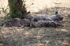 Bevlekte Hyena (Crocuta-crocuta) Royalty-vrije Stock Foto