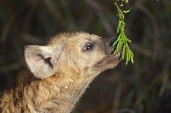 Bevlekte hyena (crocuta Crocuta) Stock Afbeelding