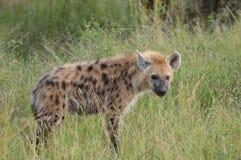 Bevlekte hyena (crocuta Crocuta) Royalty-vrije Stock Foto