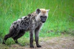 Bevlekte hyena (crocuta Crocuta) Royalty-vrije Stock Afbeelding